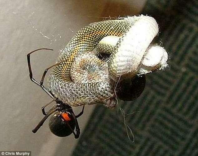 noticias Araña se tragó una serpiente